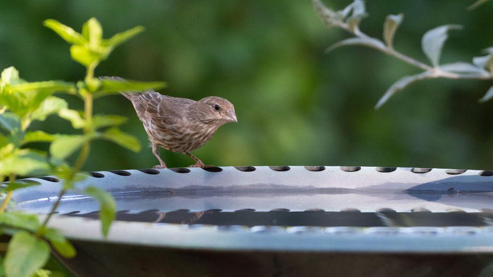 Vogeltränke für Balkon und Terrasse: Hausfink sitzt auf dem Rand einer Tränke