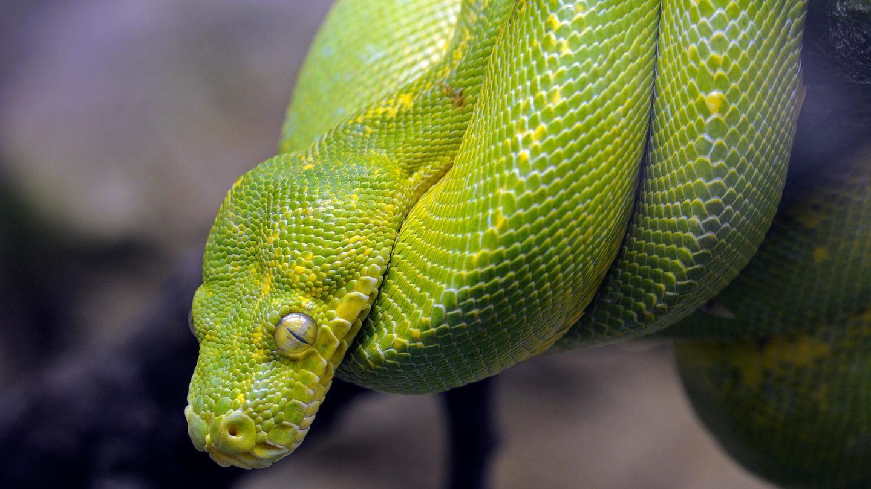 Eine grün-gelbliche Schlange