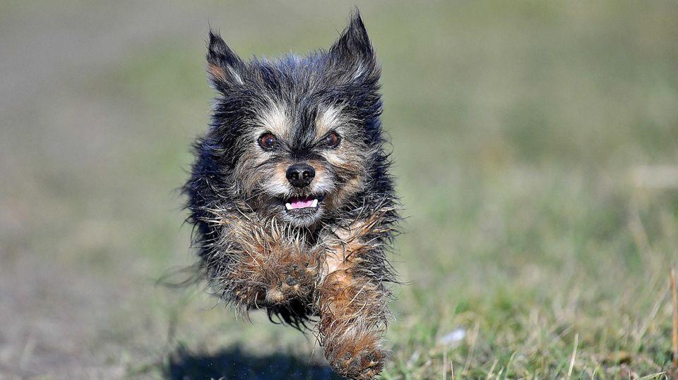 Yorkshire Terrier rennt auf einer Wiese.