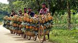 Dhaka,Bangladesch.Es ist Erntesaison – und dieseBauern waren offenbar sehr fleißig: Auf ihren Fahrrädern transportieren sie jede MengeAnanas-Früchte von ihrer Plantagezu einem Großmarkt.