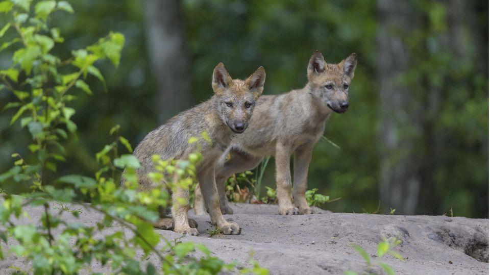 In Hessen wurden erstmals wieder Wolfwelpen gesichtet.