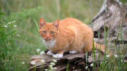 Eine Katze mit rotem Fell sitzt in einer Wiese auf dem Rest eines verwitterten Baumstammes