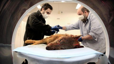 Im Berliner Leibniz-Institut für Zoo- und Wildtierforschung kommen Wölfe in den Computer-Tomografen. Todesursachen wie illegaler Beschuss können dort aufgeklärt werden