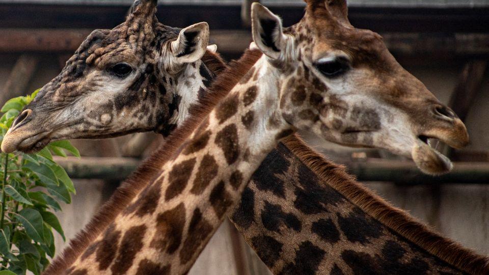 Giraffen: Sozialverhalten der großen Tiere ist endlich aufgedeckt