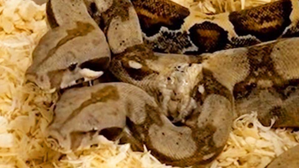 Zweiköpfige Schlange: Köpfe streiten sich um Beute