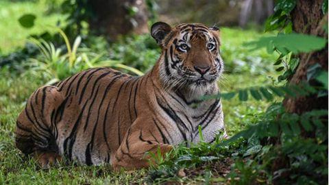 Tiger im Zoo in Mumbai
