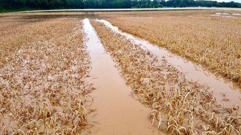 Ein Feld mit reifen Getreide steht unter Wasser.
