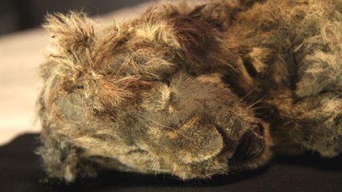 Mehr als 28.000 Jahre alt: Höhlen-Löwen-Baby