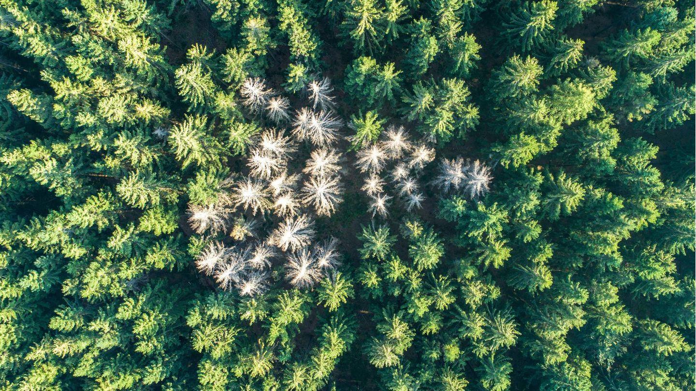 Abgestorbene Fichten stehen im Wald nahe des Rosskopfs in Hessen