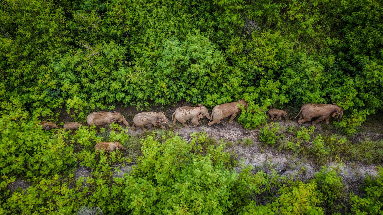 Eine Luftaufnahme zeigt eine Herde wilder asiatischer Elefanten