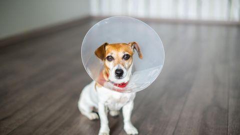 Braun-weißer Jack Russell Terrier trägt eine Halskrause nach einer Operation