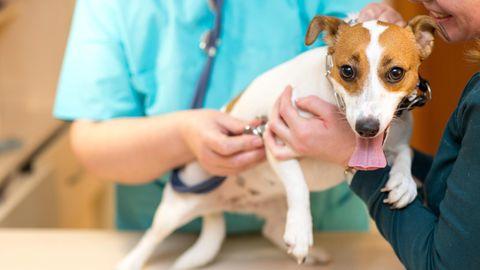 Ein Jack-Russell-Terrier beim Tierarzt