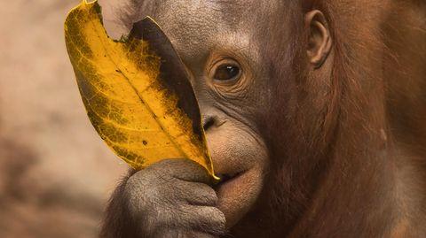 Ein Borneo-Orang-Utan-Baby knabbert an einem gelben Blatt in einem Gehege des Bioparc Fuengirola