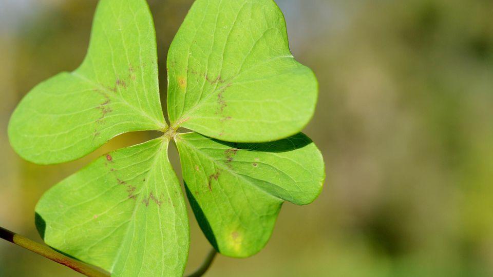 Seit jeher ein klassischer Glücksbringer: das vierblättrige Kleeblatt