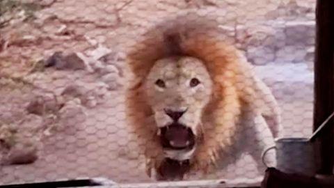 Wütender Löwe bedroht Mann in Hütte – da hat selbst der erfahrene Ranger Angst