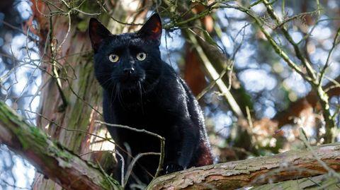 Schwarzer Kater sitzt auf einem Baum
