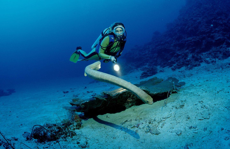 Olivgrüne Seeschlange: Die Aipysurus laevis (Olive Sea Snake) kommt im Great Barrier Reef bei Australien vor