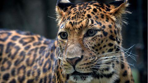 Ein Leopard hat in Thüringen eine Frau angegriffen und schwer verletzt