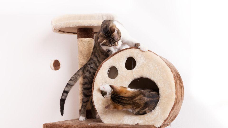 Zwei verspielte junge Katzen spielen zusammen auf einem Kratzbaum