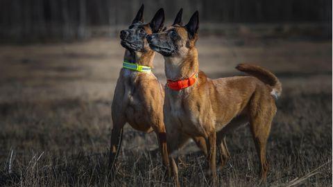 Leuchthalsband für Hunde