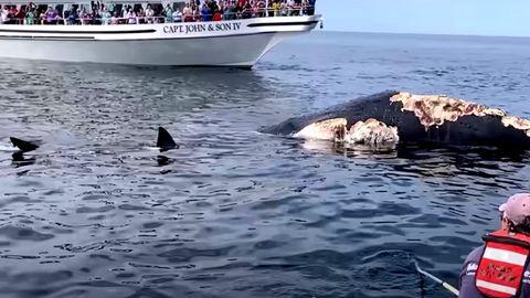 Weiße Haie machen sich über Kadaver eines Buckelwals her