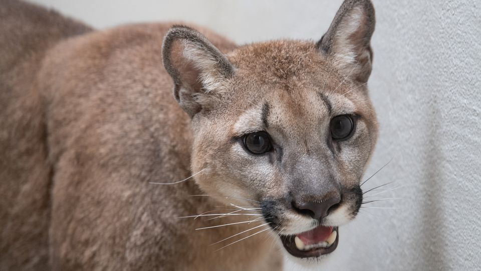 Dieses vom Bronx Zoo zur Verfügung gestellte Foto zeigt einen Puma im Bronx Zoo
