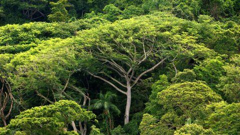 Immer mehr Bäume im Regenwald – hier auf der Ilha do Cardoso im brasilianischen Bundesstaat SãoPaulo – fallen Abholzungen zum Opfer