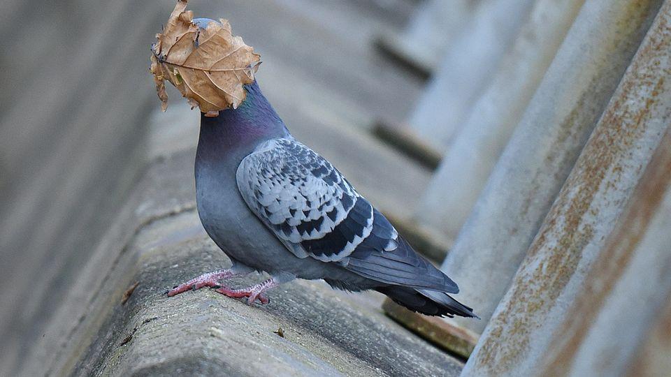 La paloma tiene literalmente una viga delante de su cabeza.