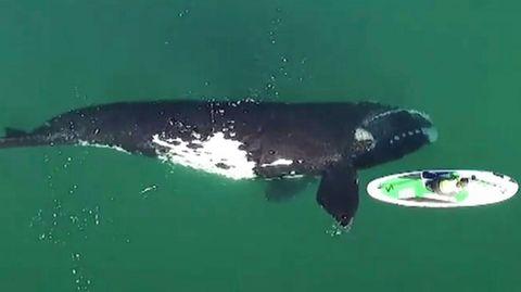 Neugieriger Wal nähert sich Paddleboarderin – und gibt ihr einen vorsichtigen Stoß