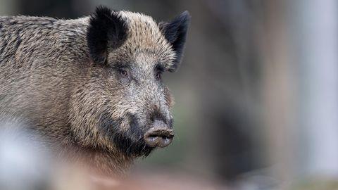 Ein erwachsenes Wildschwein schaut in die Kamera