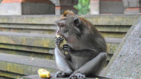 Unerwartete Covid-Folgen: Weil die Touristen ausbleiben, leiden Balis Affen an Hunger und Langeweile – und beginnen einzubrechen