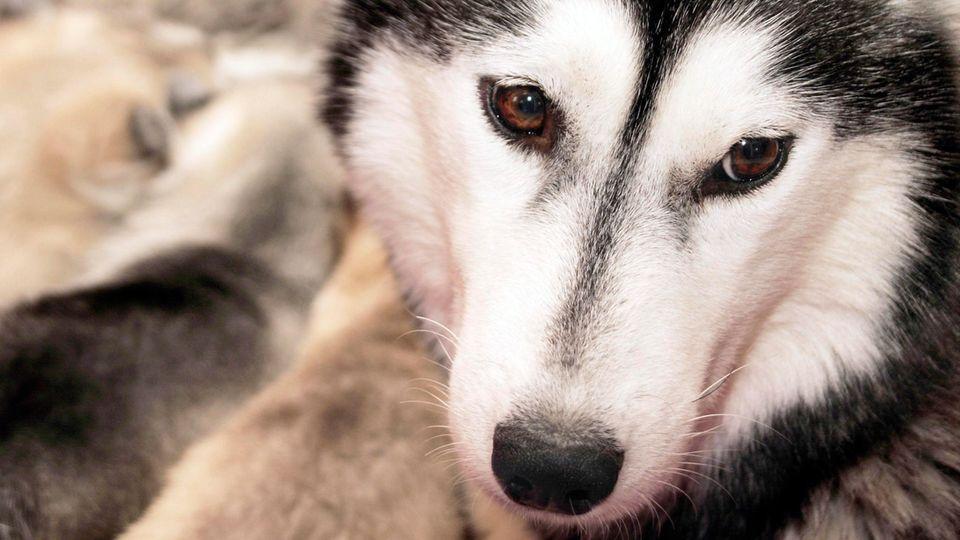 Ein Siberian Husky