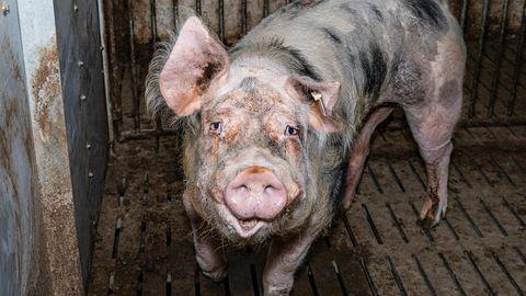 Ein Hinweis aus der Bevölkerung führte zur Entdeckung der 250 toten Schweine