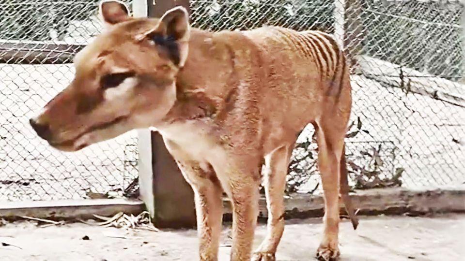 Beutelwolf–Kolorierter Film von 1933: Video zeigt letztes Tier in Tasmanien
