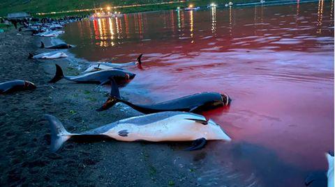 Die Kadaver toter Weißseitendelfine auf einem Strand