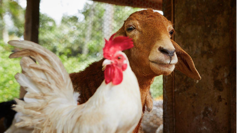 Ein Huhn und eine Ziege