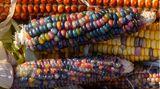 Hohedodeleben, Deutschland. Farbiger statt des üblichen gelben Mais ist in anderen Regionen der Welt nicht unbekannt, aber in Sachsen-Anhalt? DerjungeLandwirt Philip Krainbring experimentiert mit verschiedenen Maissorten und will die Vielfalt des Kolbengewächses Mais- und Popcorn-Fans hierzulande schmackhaft machen.