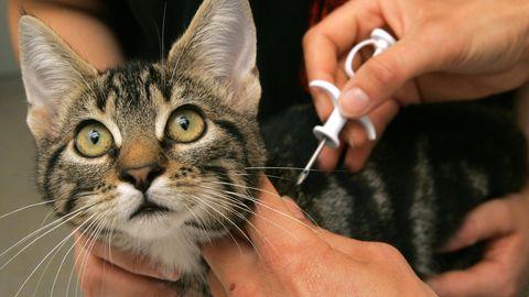 Eine Katze wird per Mikrochip gekennzeichnet. Durch die Technik konnte ein entlaufener Kater in Schottland nun nach über zehn Jahren wiedergefunden werden.