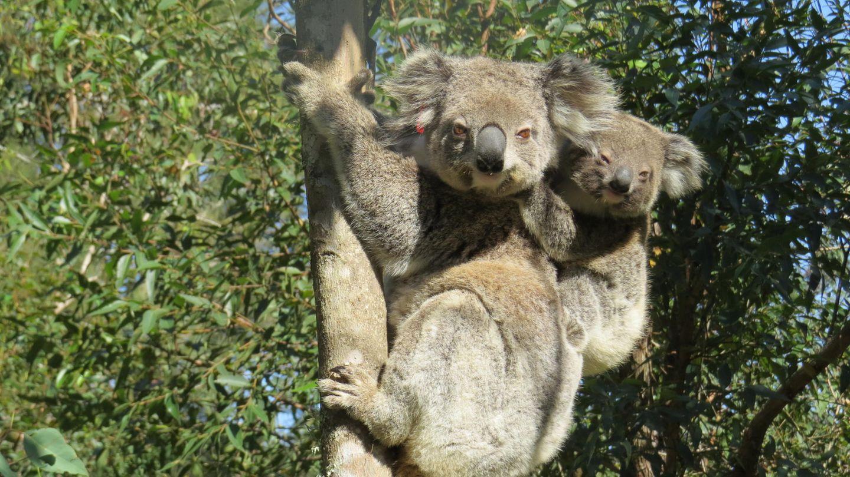 Koala Ember klammert sich mit seinem Jungen auf dem Rücken an einem Baum fest. Der Koala hat die verheerenden Buschbrände in New South Wales überlebt und nun Nachwuchs. Viele andere Koalas haben die Buschbrände allerdings nicht überlebt, was ihre Zahl stark verringert hat.