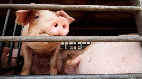 Schweine in einem engen Stall
