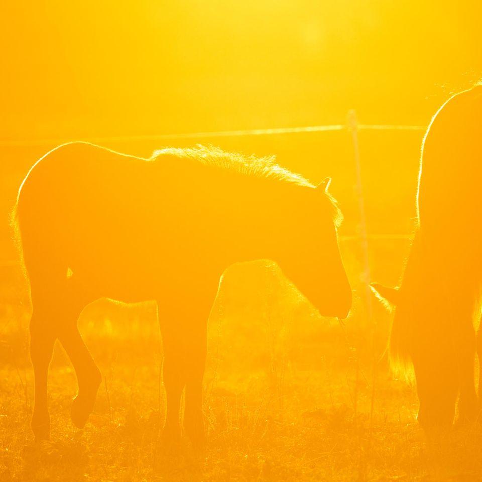 Wehrheim, Deutschland. Auf ihrer Koppel im Taunus grasen zwei Pferde im Gegenlicht der aufgehenden Sonne. Nun, da der Herbst näher kommt, genießen sie wahrscheinlich genau wie Menschen jeden wärmenden Sonnenstrahl.