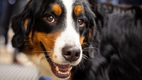 Hund erschnüffelt Corona-Infektion in Hannover (Symbolbild von Spürhund)
