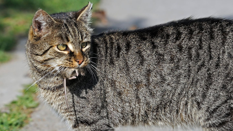 Eine grau getigerte Katze trägt eine Maus im Maul