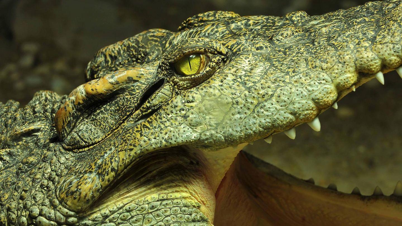 Ein Foto eines Siam Krokodils