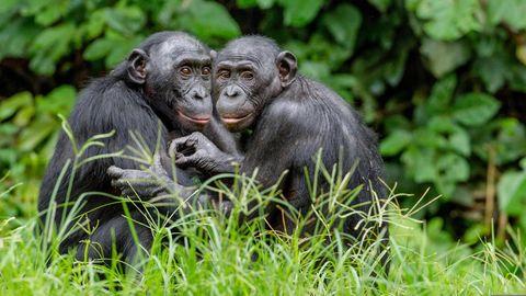 Zutiefst sozial: Wie fast alle Primatenarten inklusive uns Menschen leben Bonobos in Gemeinschaften. Im Gegensatz zu Schimpansen gelten sie als eher friedliebend