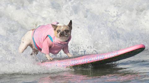 Huntington Beach, USA. Ein Hundsurft auf Wellen am Strand im kalifornischenHuntington Beach beim jährlichen Surf City Surf Dog Event.