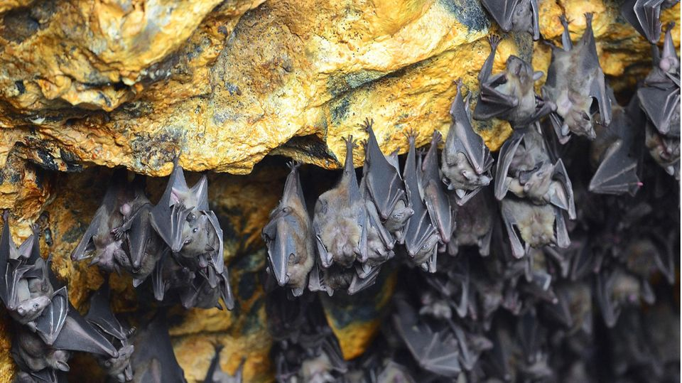 Coronavirus: Fledermäuse in einer Höhle in Indonesien, Bali