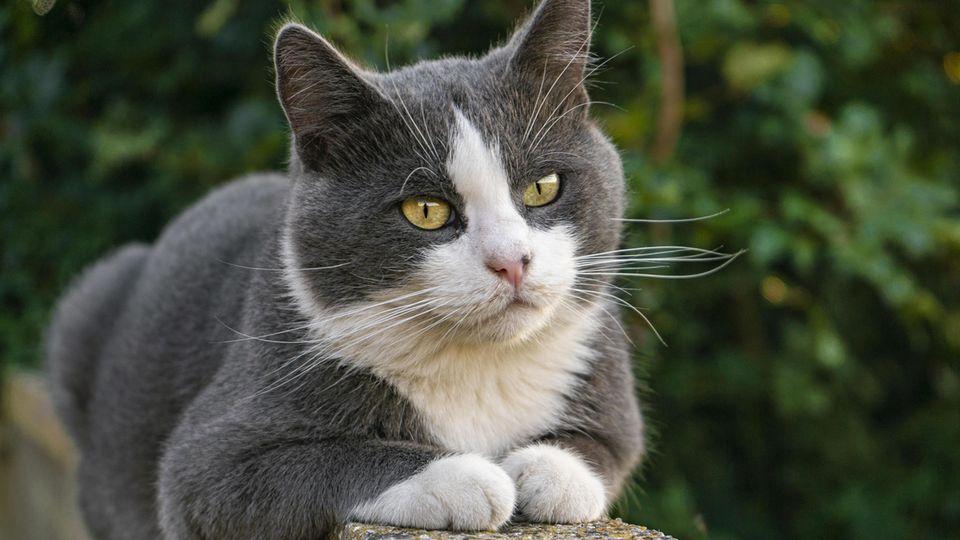 Eine graue Katze mit weißen Pfötchen sitzt auf einer Mauer