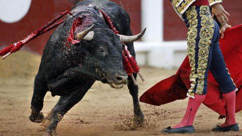 Ein Stier mit Dekorationen auf dem Rücken läuft neben einem traditionell gekleideten Stierkämpfer umher