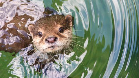 Süß, aber hungrig: Ein Otter